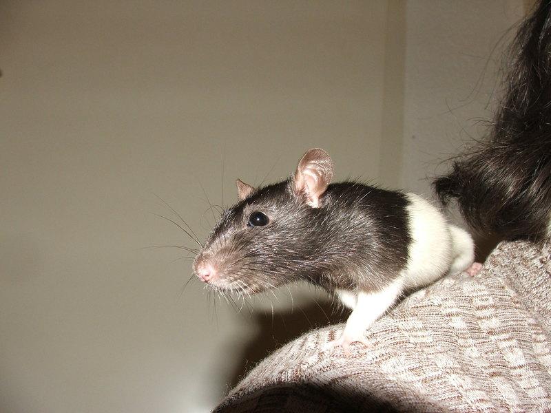 Rattenbesuch - ...und natürlich auch auf Schulter