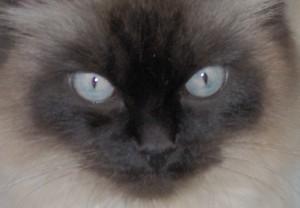 Sam - Siam/Perser Gesicht