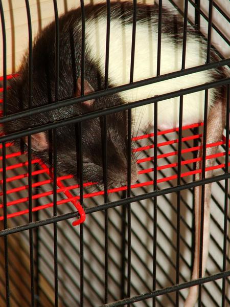 Broscha - Schlafen: mit hängendem Schwanz
