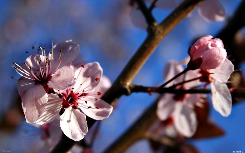 artos: Pflaumenblüten  2
