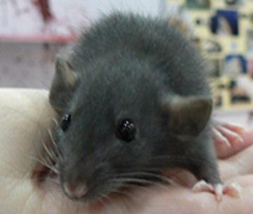 Ratte - Versuchstier des Jahres 2007
