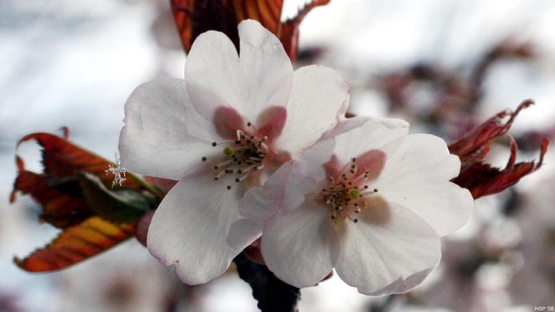 artos: Kirschblütenzauber  mit Schneekristall