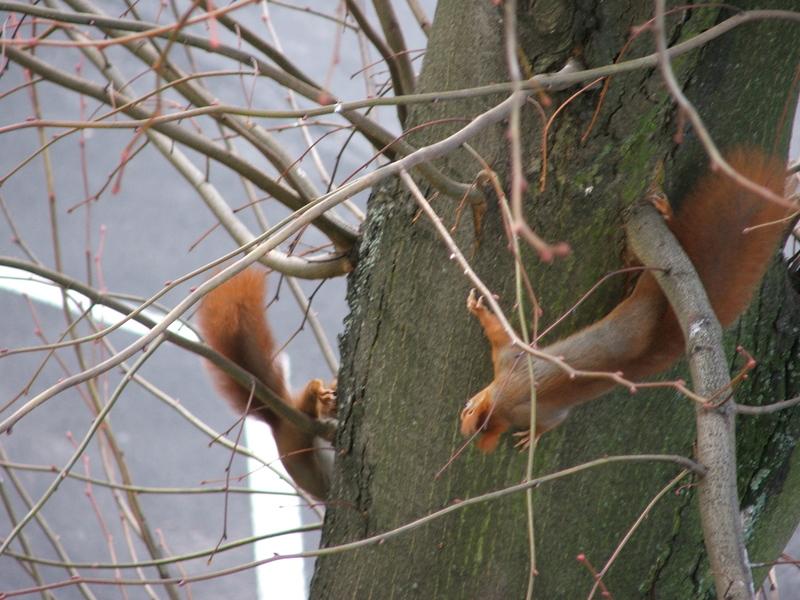 Tanz der Eichhörnchen