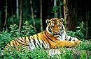 sibirischer  tiger  auch  amur  tiger