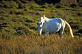 camarguais  die weissen  wildlebenden  pferde  der  camargue