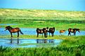 wildlebende  pferde  auf  der  insel  texel
