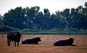 die schwarzen  stiere der  camargue