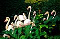die  flamingos  der  camargue