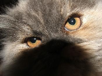 The Eye of the Tiger - owlets Katze Basya in die Augen geschaut
