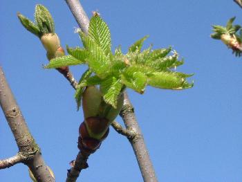 Rote Zierkastanie im Frühling ...( Bei uns im Garten )