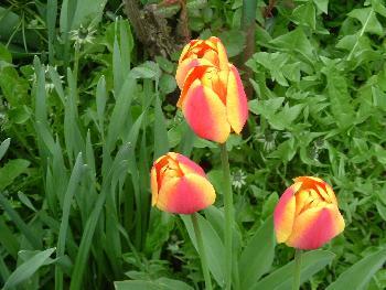 Zweifarbige Tulpen ...