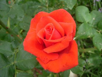 Rote Rose ...