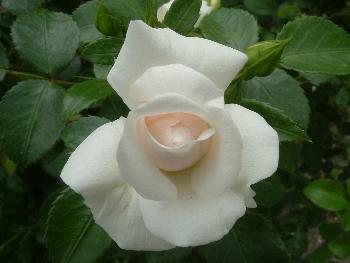 Weiße Rose  ...