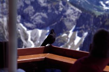 Bergvogel