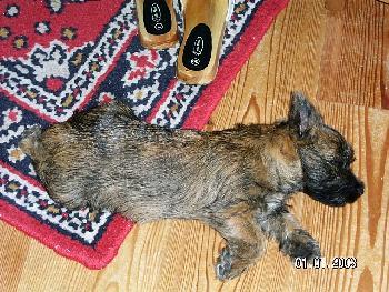Mikado, unser Cairn-Terrier