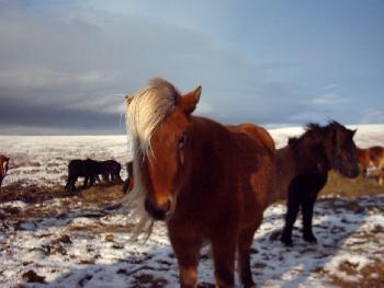Pferd mit Pony