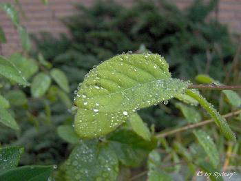 Regentropfen auf Blätter (1)
