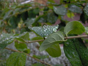 Regentropfen auf Blätter (2)