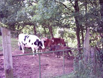 Friedliches Beisammen - Pferd mit Kind, das durch eine Kuh bewacht wird !