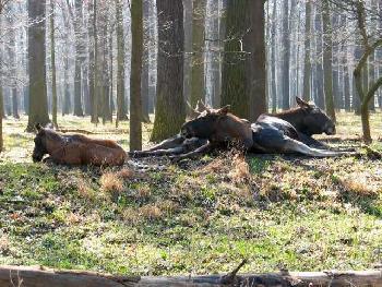Elche im Leipziger Wildpark