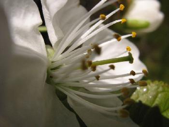 Kirschblüte 2 (2007)