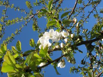 Kirschblüte 1 (2007)