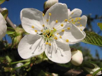 Kirschblüte 3 (2007)