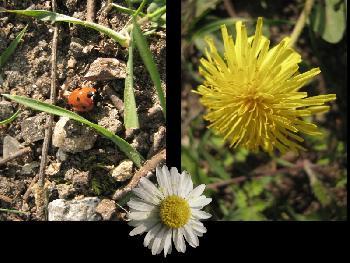 Marienkäfer, Löwenzahn und Gänseblümchen