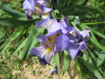 Lila Blume aus dem Kosovo