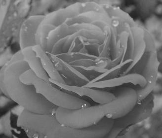 Starbug: Rose (1)