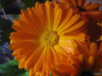 Sommerblumen in orange