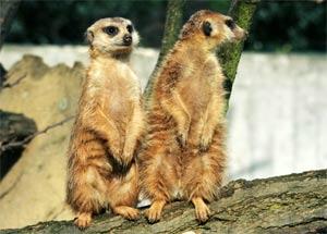 wistful: Die Murmeltiere