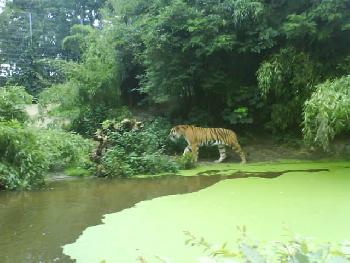 wistful: Der Tiger