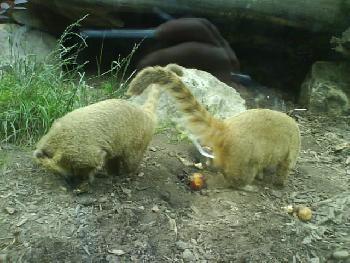 wistful: Die Nasenbären