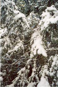 schneebedeckte Tannenzweige