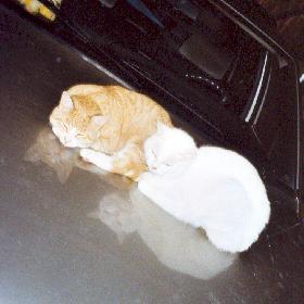 Auf der Motorhaube liegt es sich gut...Jimmy und Kitty
