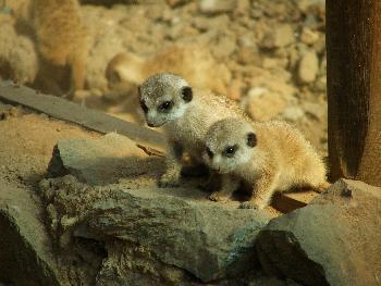 Zwei neugierige Erdmännchen-Babies (im Hintergrund weitere Nachkommen)