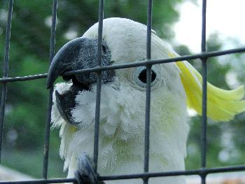 Gefangenschaft ist nichts schönes (Nymphensittich)