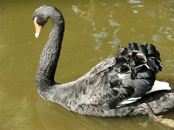 Trauerschwan, ein wunderschöner Vogel, man achte auf die glänzenden Federn
