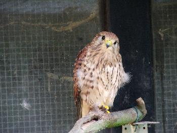 Dieser Vogel (Falke) hat nur einen kleinen Käfig, vielleicht fragt er mit seinem Blick, ob er raus kann?