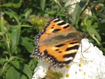 Schmetterling - Fuchs (ganz Flach, wegen dem Wind)
