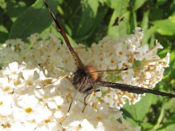 Schmetterling - Fuchs (Detail)