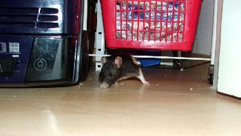 Broscha - Typisch Maus