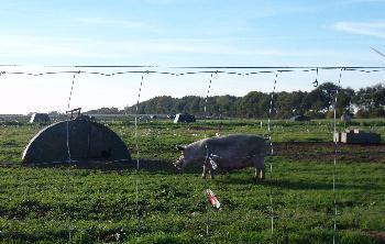 Schweinchen auf der Weide