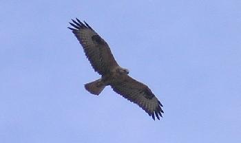 moto72: Greifvogel im Flug