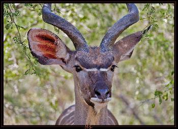 Kudu sieht mich..