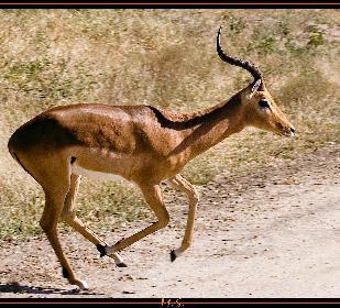 Impala hüpf
