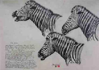 Zebra studie