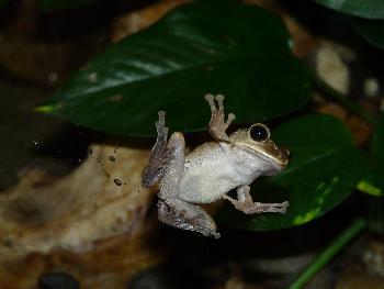 Cliffhanger-Frog  ...