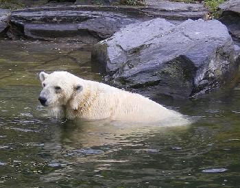 Nicht Knut!